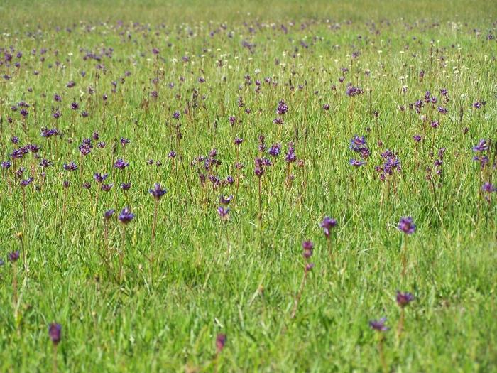 Tuolumne Meadow Wildflowers. Yosemite 2009.